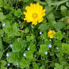edible blue flowers edible vegetable flowers jeannie s kitchen