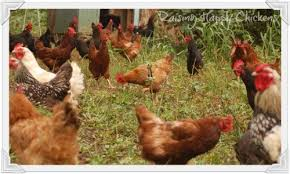 Chicken In Backyard Back Yard Chickens The Law And You