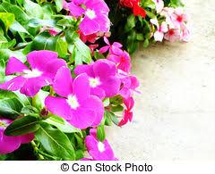 Vinca Flowers Stock Photos Of Beautiful Pink Vinca Flowers Madagascar
