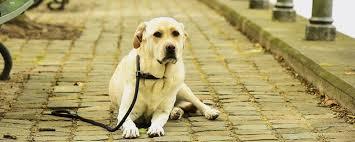 muskelschwäche seltene muskelschwäche myasthenia gravis der hund