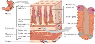 Why Is Anatomy And Physiology Important 23 4 The Stomach Anatomy And Physiology