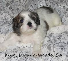cavachon puppies for sale the monarchy