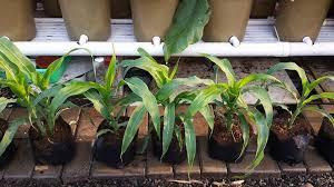 cara membuat cairan hidroponik cara menanam hidroponik bagi pemula cara menanam hidroponik bawang
