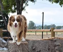 australian shepherd up for adoption mabey family ranch australian shepherd puppies for sale utah