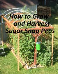 how to grow and harvest sugar snap peas moms simple life