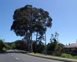 black peppermint tree city council