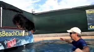 australian shepherd jumping fence australian shepherd brodie jumps off dock into swimming pool for