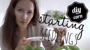 corn grow your own gmo free organic sweet corn from seed youtube