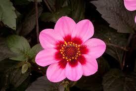Dark Red Flower - purple foliage plants stock images images plant u0026 flower stock