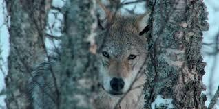 europe u0027s last wilderness animals national geographic australia