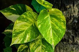 bc native plants epipremnum aureum wikipedia
