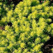 onlineplantcenter 1 gal angelina stonecrop sedum plant s12213