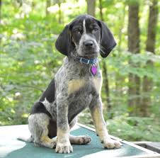 bluetick coonhound florida new bluetick coonhound puppy shelby love hounds and hunting