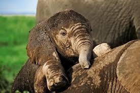 free elephant backgrounds u2013 wallpapercraft