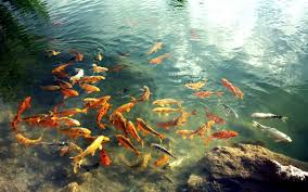 koi fish pond wallpapers koi fish pond image galleries 50 w