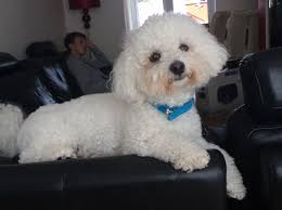 bichon frise 2015 calendar proven 2 year old bichon frise liverpool merseyside pets4homes