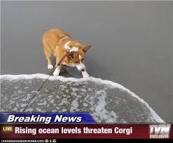 breaking news rising ocean levels threaten corgi i has a hotdog