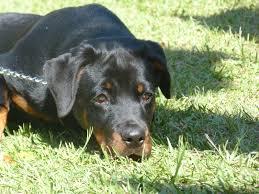 american pitbull terrier traits pitweiler american pit bull terrier and rottweiler mix