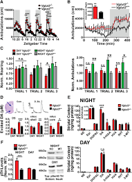 loss of vglut3 produces circadian dependent hyperdopaminergia and