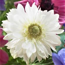 anemone flowers anemone mount everest white anemone bulbs coronaria bulbs