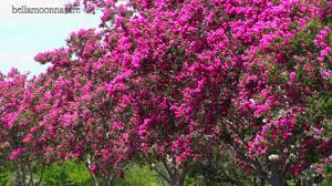Trees With Pink Flowers Beautiful Flowering Trees Crepe Myrtles Youtube