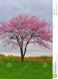 pink flowering redbud tree stock photo image 53350809
