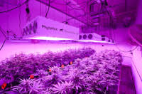commercial led grow lights cannabis growing gallery pictures of cannabis