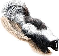 striped skunk stock art illustration