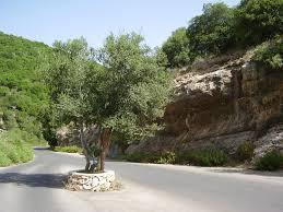 file pikiwiki israel 8825 olive tree in meron reserve jpg