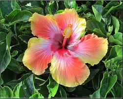 which state has a hibiscus hibiscus u0027 gala sets u0027gold u0027 standard in sumptuousness people