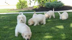 australian shepherd labradoodle mini labradoodle puppies for sale youtube