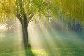 weeping willow tree care