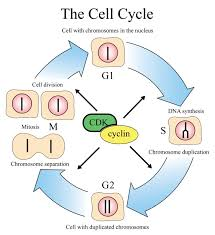 fhs bio wiki cell cycle