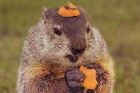 check out this groundhog wearing a carrot hat reader u0027s digest