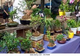 bonsai ornamental trees miniature stock photos bonsai ornamental