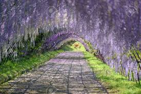 Tunnel In Wistaria Trellis Stock Photo Picture And Royalty Free