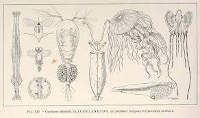 file fmib 36920 quelques elements du zooplankton our plankton