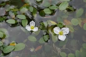 native pond plants uk landscapes u0026 flora of cumbria u2013 cumbria botany