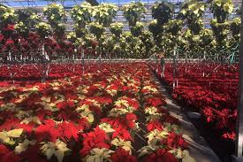 is home depot selling poinsettias on black friday poinsettias u0027 popularity wilts u2014with some growers at least wsj
