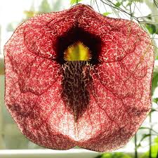 plants native to brazil aristolochia gigantea wikipedia