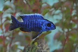 hap cichlids com electric blue hap