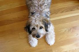 protect hardwood floors how to protect hardwood floors from dogs cuteness