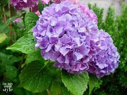 Purple Hydrangea How To Turn Hydrangeas Pink Or Blue In My Own Style