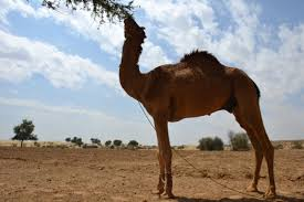 camel trekking the thar desert u2013 we caught the travel bug u2026