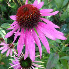 echinacea flower purple cone flower echinacea harvest farm