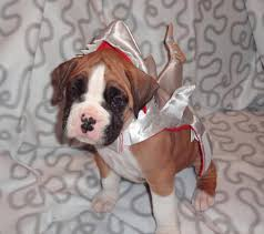 2 female boxer dogs together 47 cute fun and scary halloween costumes for your boxer treats