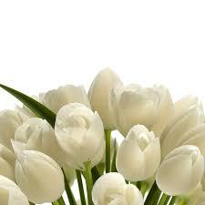 white tulips 3d model white tulips cgtrader