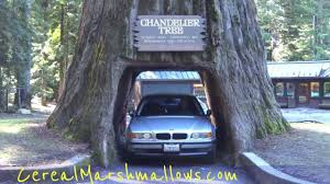 drive thru tree chandelier tree world redwood forest