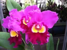 Orchid Plants Orchid Plants U2013 Waldor Orchids