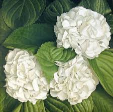 Bulk Hydrangeas Bulk Flowers Collection Yola Guz Wedding Flowers